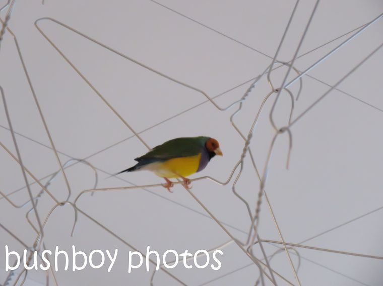 gouldian-finch01_goma_named_jan-2017