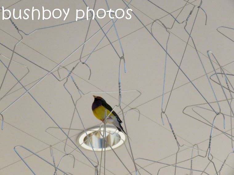 gouldian-finch02_goma_named_jan-2017