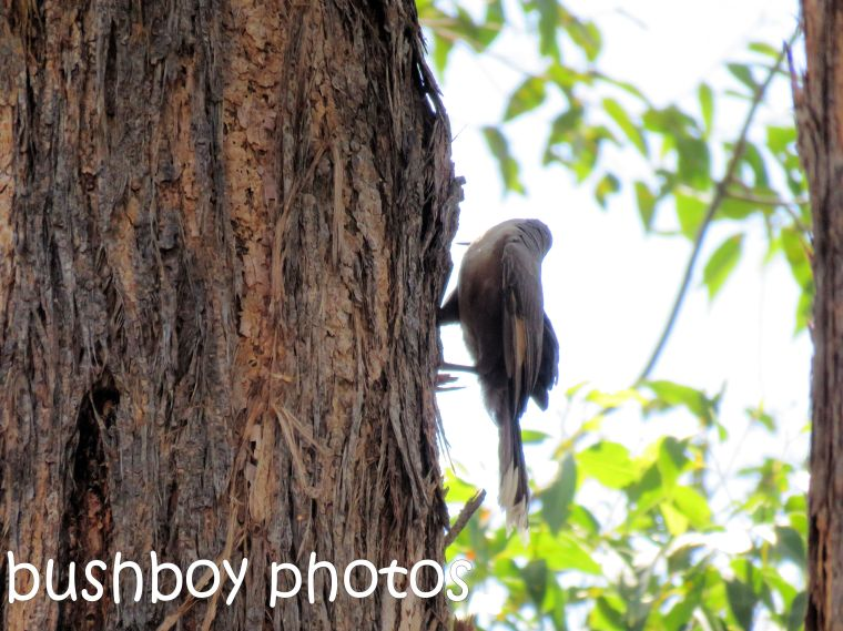 grey-crowned-babble_side-tree_named_home_dec-2016