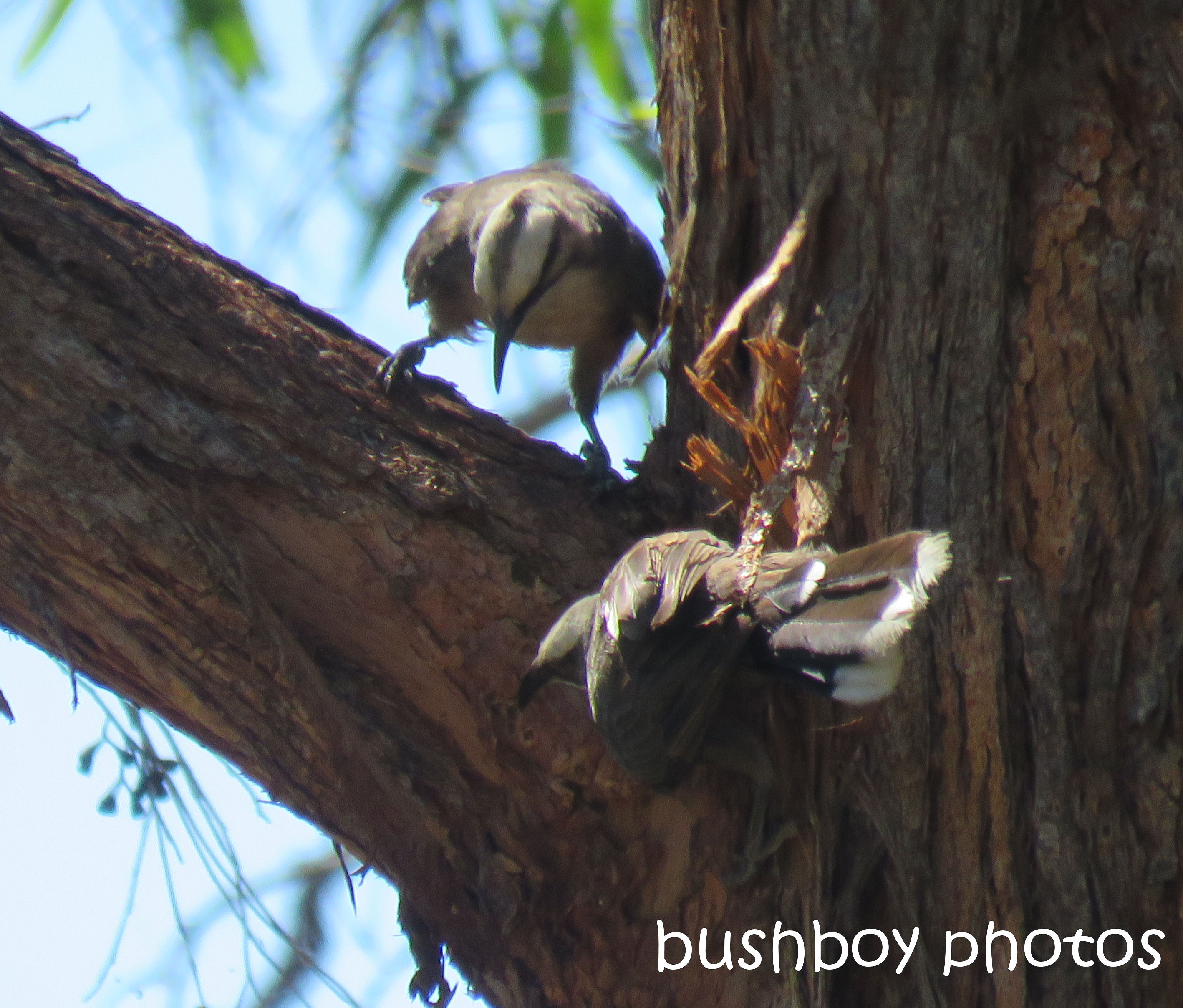 grey-crowned-babblers01_project_named_home_dec2016