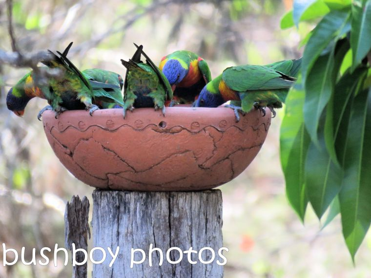rainbow-lorikeets_bird-bath-bums_named_home_dec-2016
