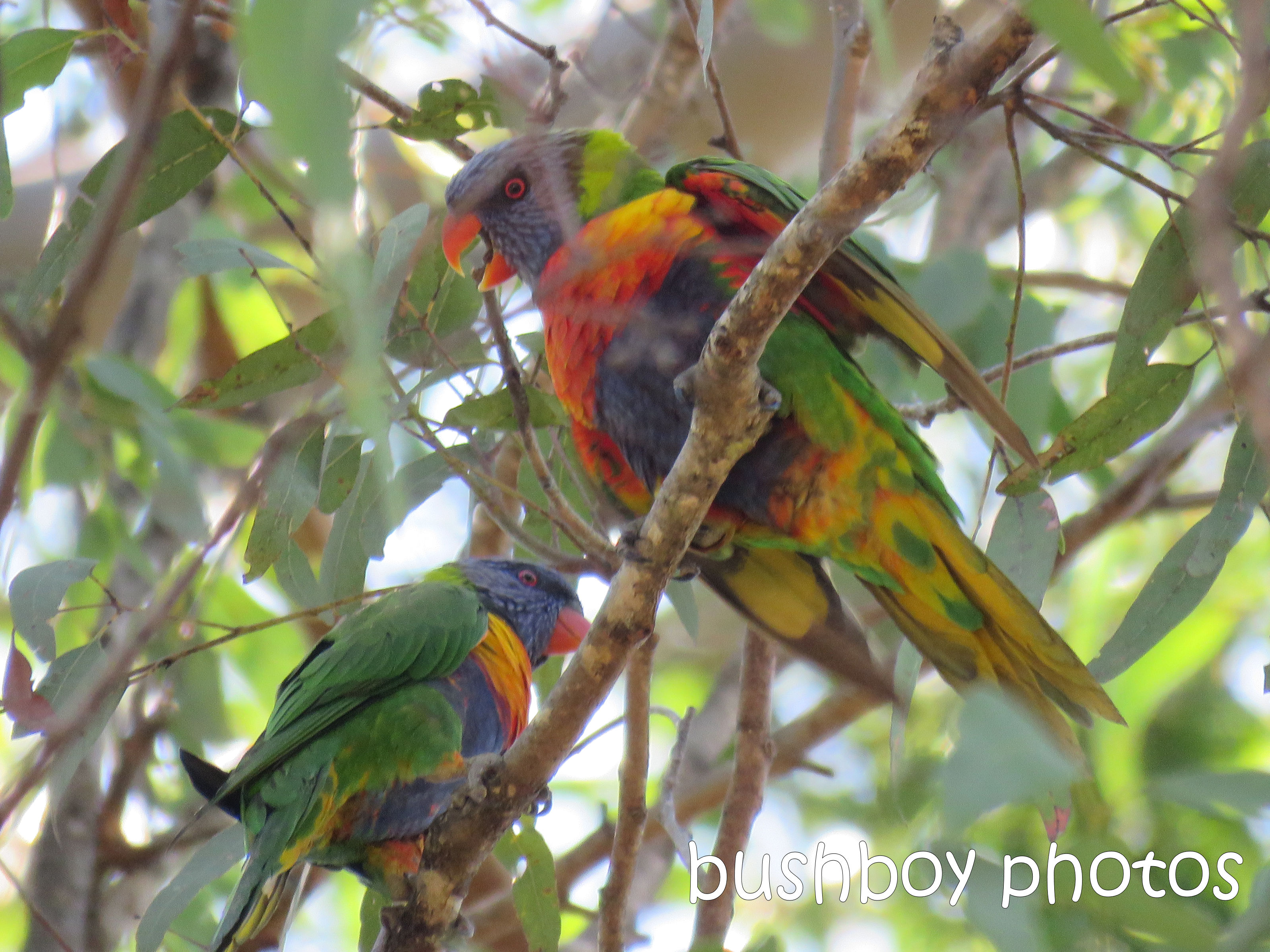 rainbow-lorikeets_named_home_dec-2016