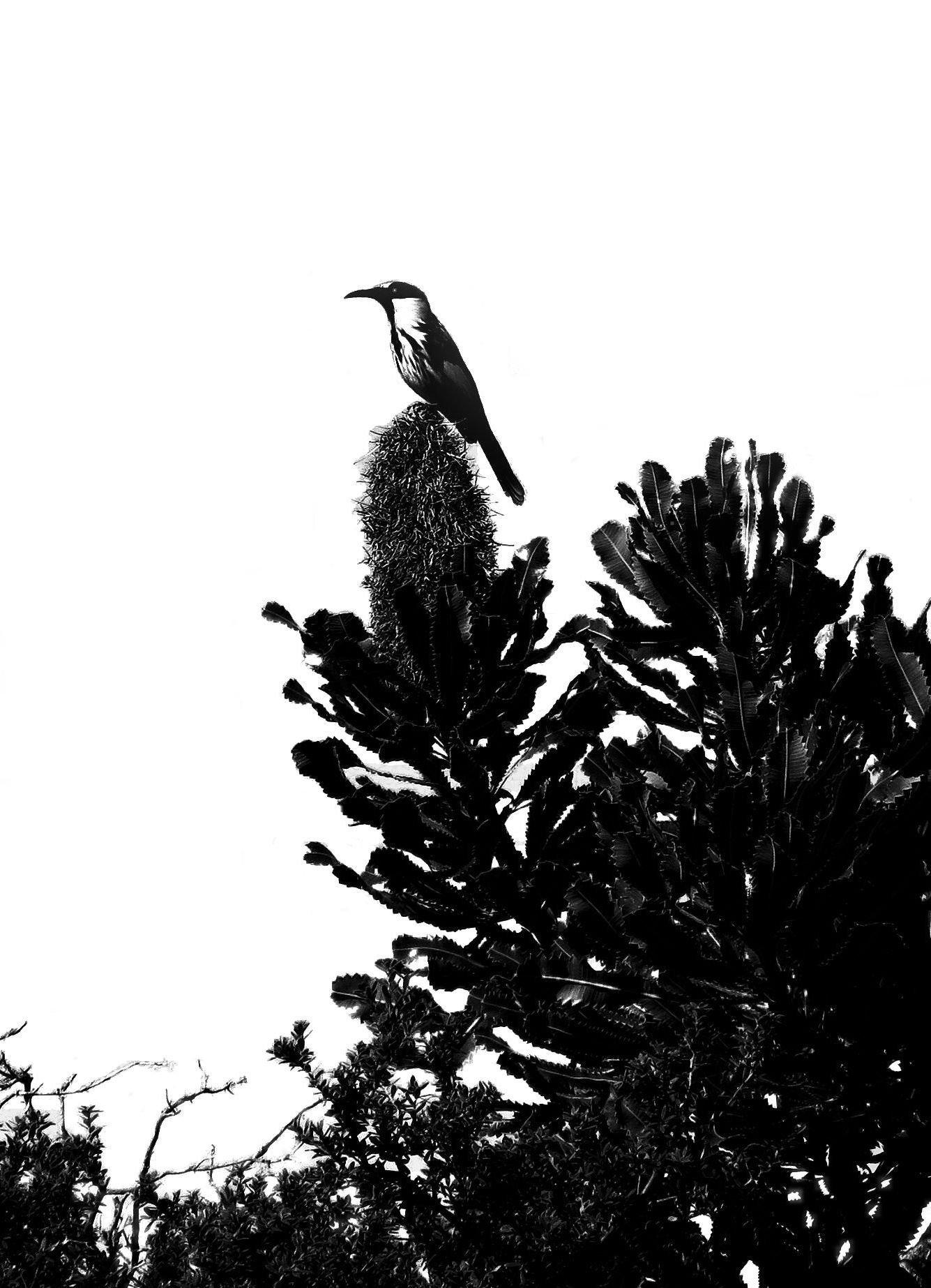 silhouette-blog_wattlebird