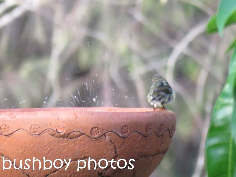 striated-thornbill_splash_named_home_dec-2016
