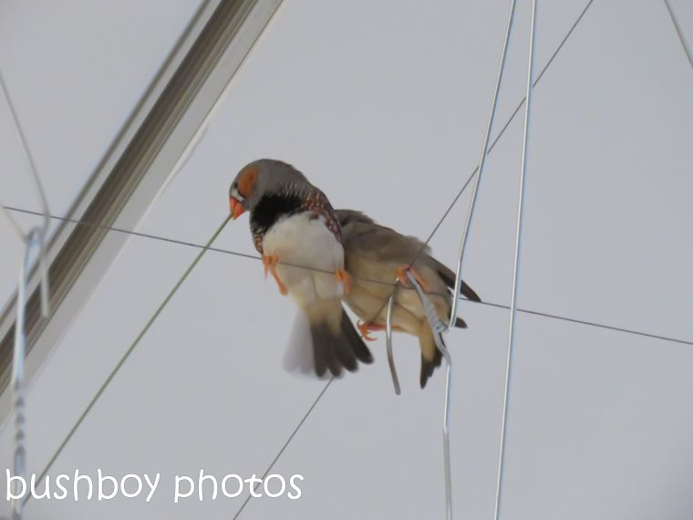 zebra-finch01_goma_named_jan-2017