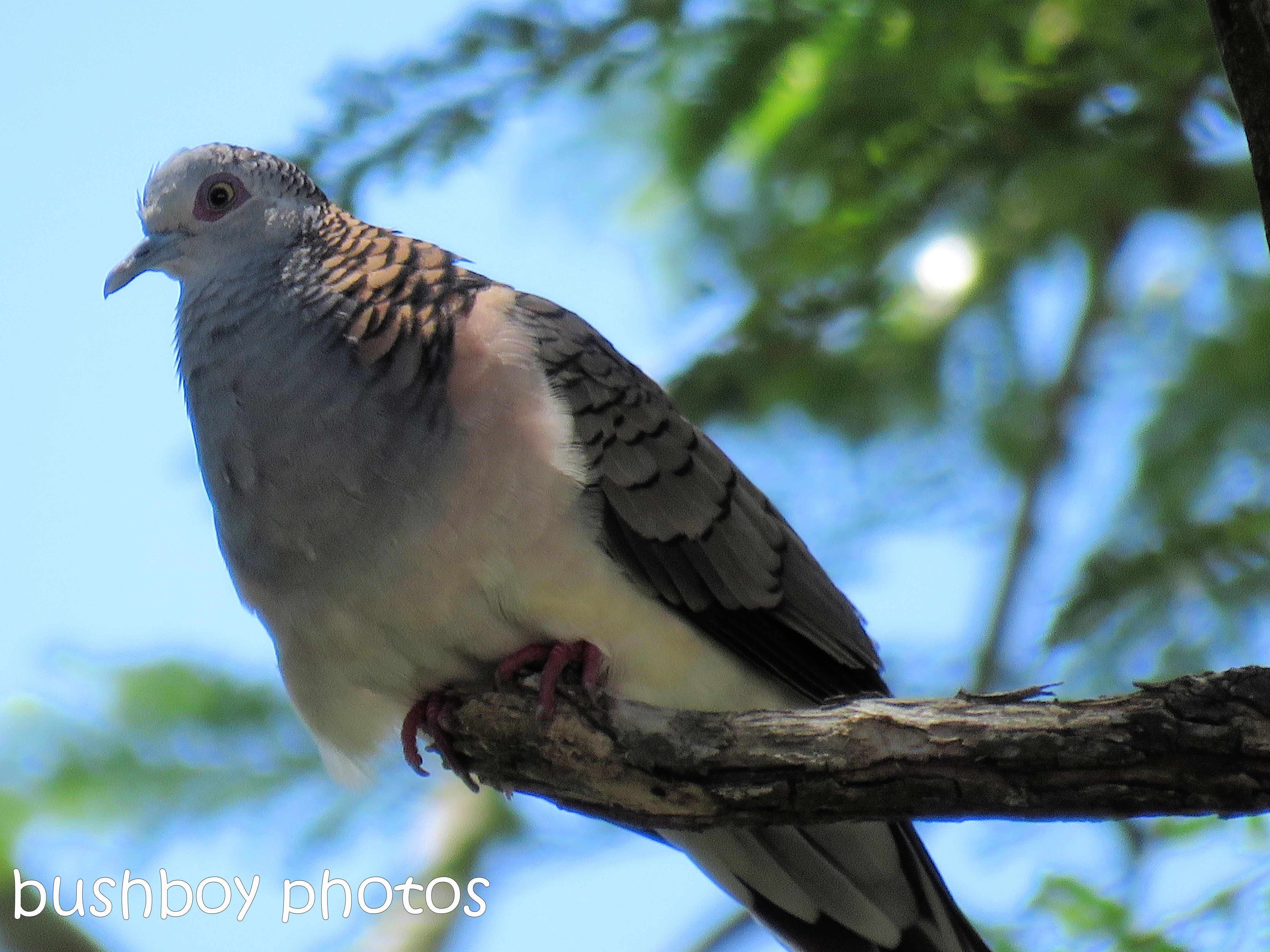 bar-shouldered-dove01_named_binna-burra_jan-2017