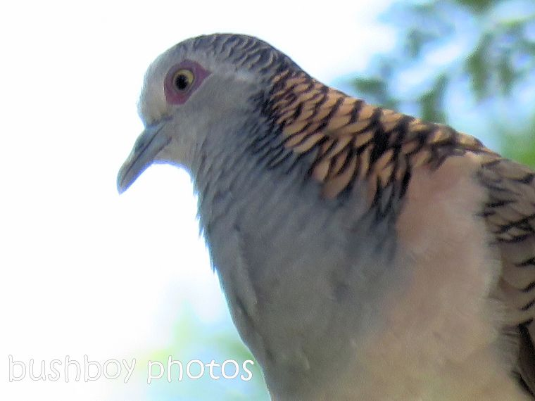 bar-shouldered-dove02_close_named_binna-burra_jan-2017