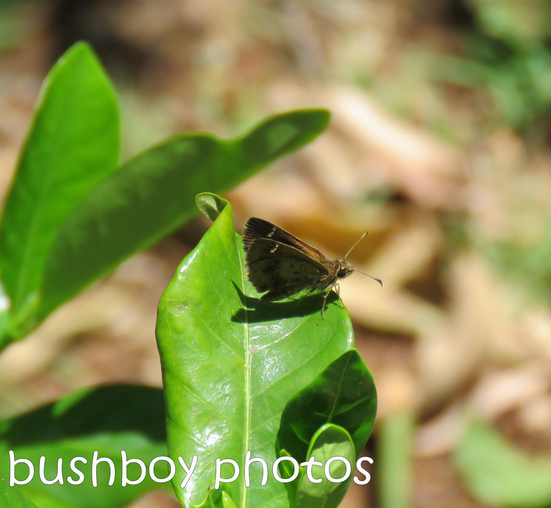 butterfly_named_binna-burra_jan-2017