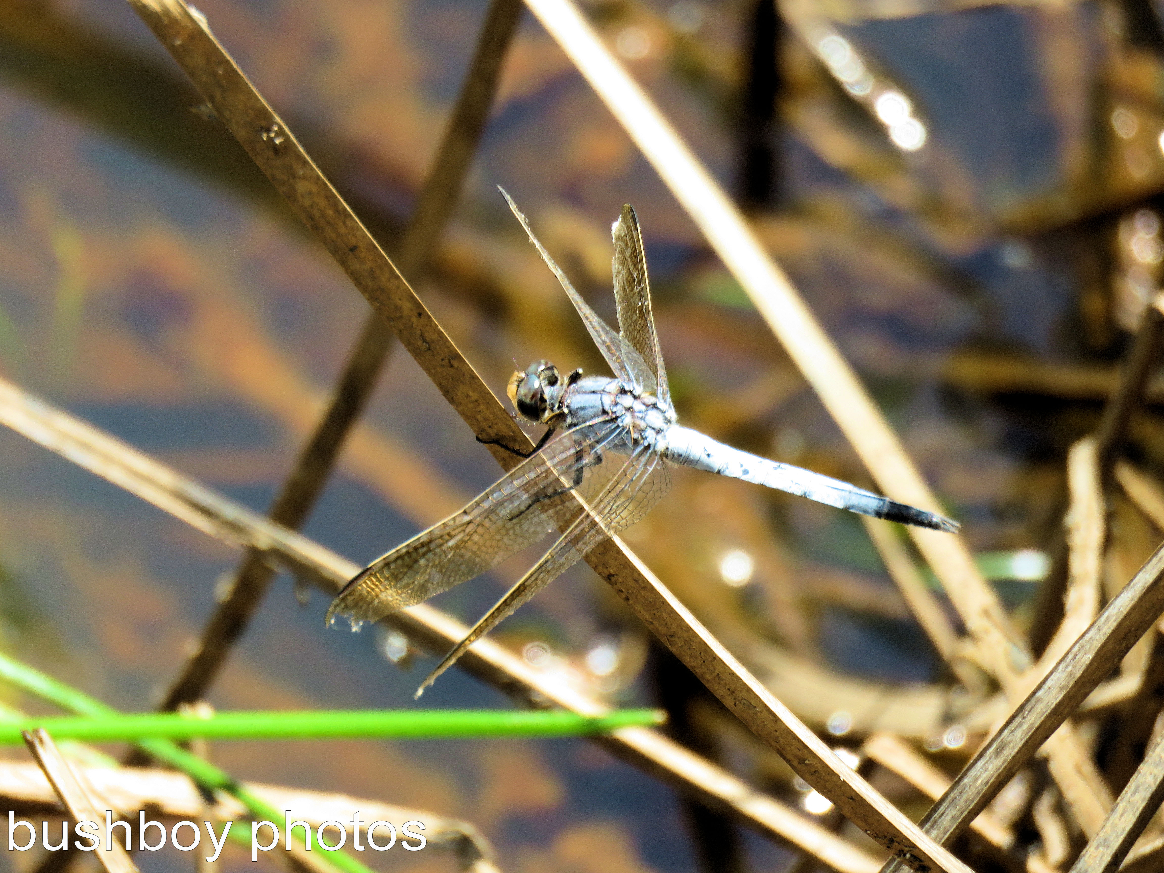 dragonfly01_blue_named_home_feb-2017