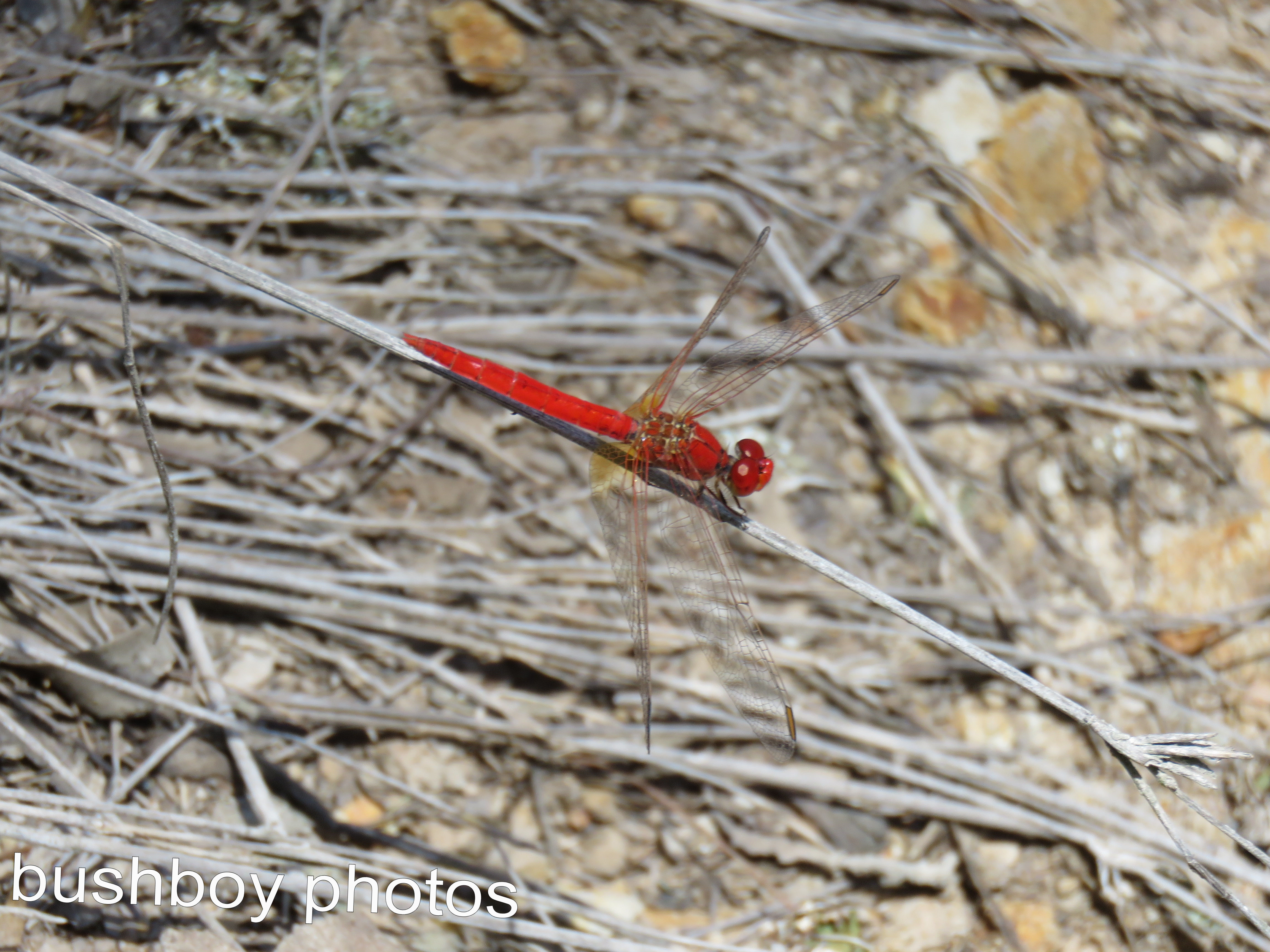 dragonfly01_red_named_home_feb-2017