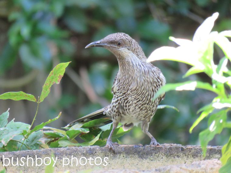 little-wattlebird_named_binna-burra_jan-2017