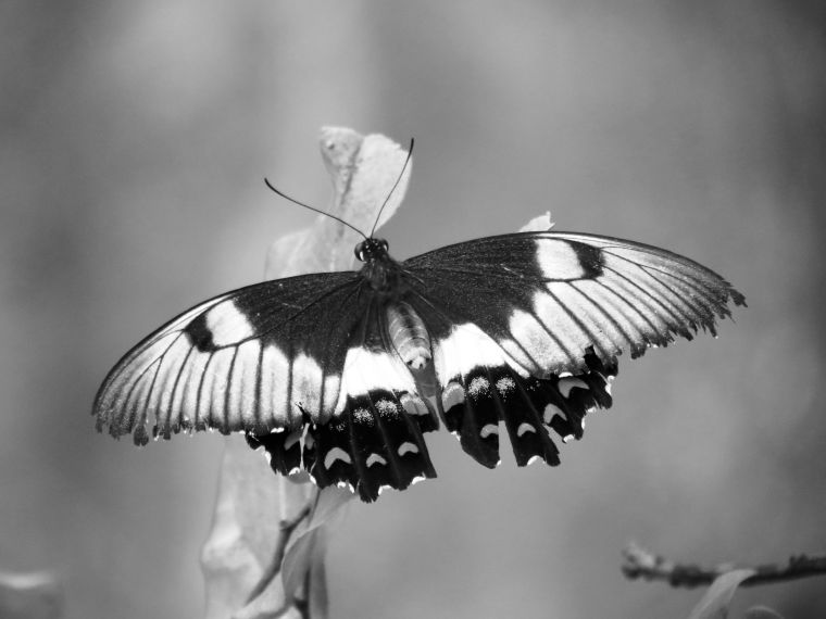 orchard-butterfly-bw