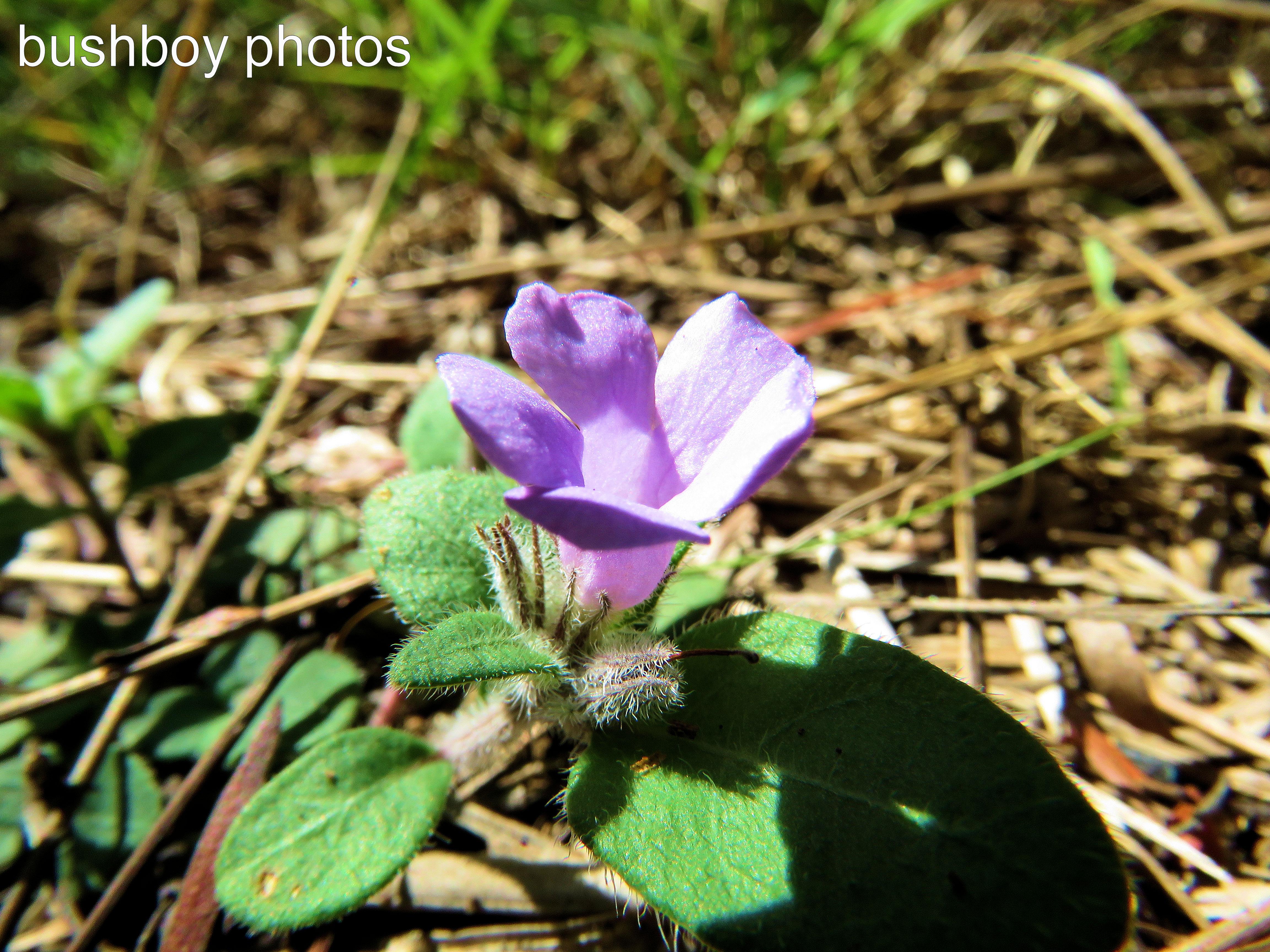 purple-hairy-flower_named_home_feb-2017
