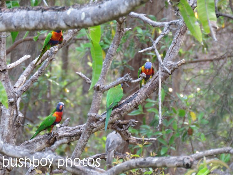 rainbow-lorikeets-waiting_named_home_jan-2017