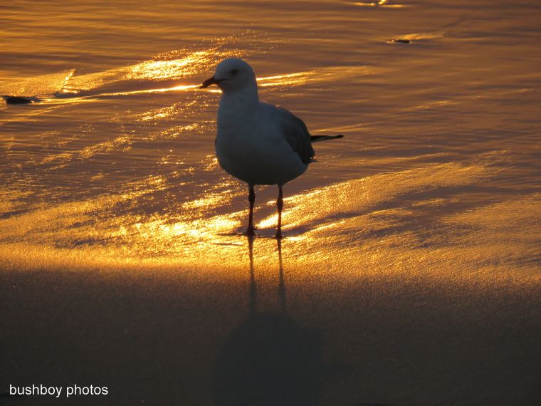 seagull_sunrise_named_ballina_feb-2017