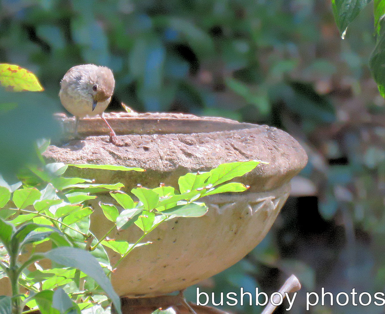striated-thornbill_named_binna-burra_feb-2017