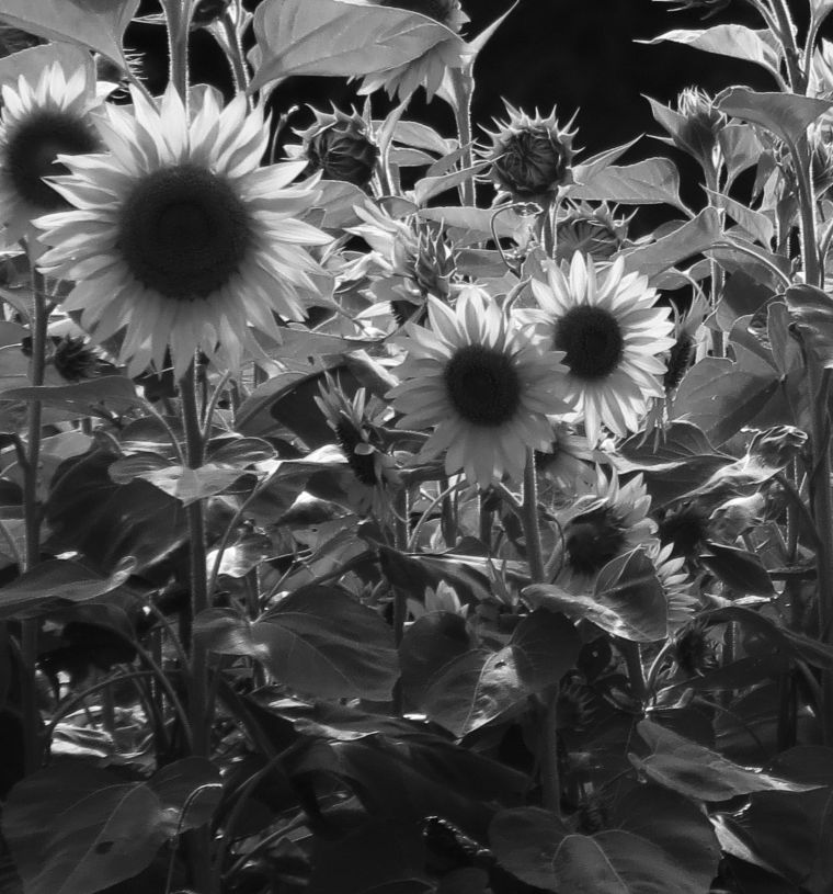 sunflowers02_b-w