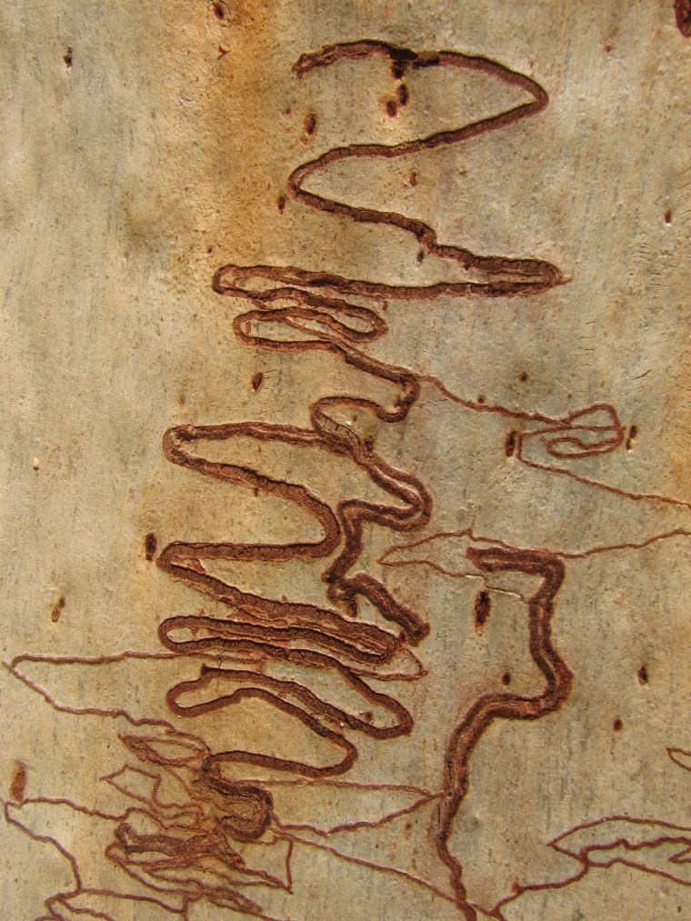 tree-bark-patterns_blog_scribbly-gum_evans-head