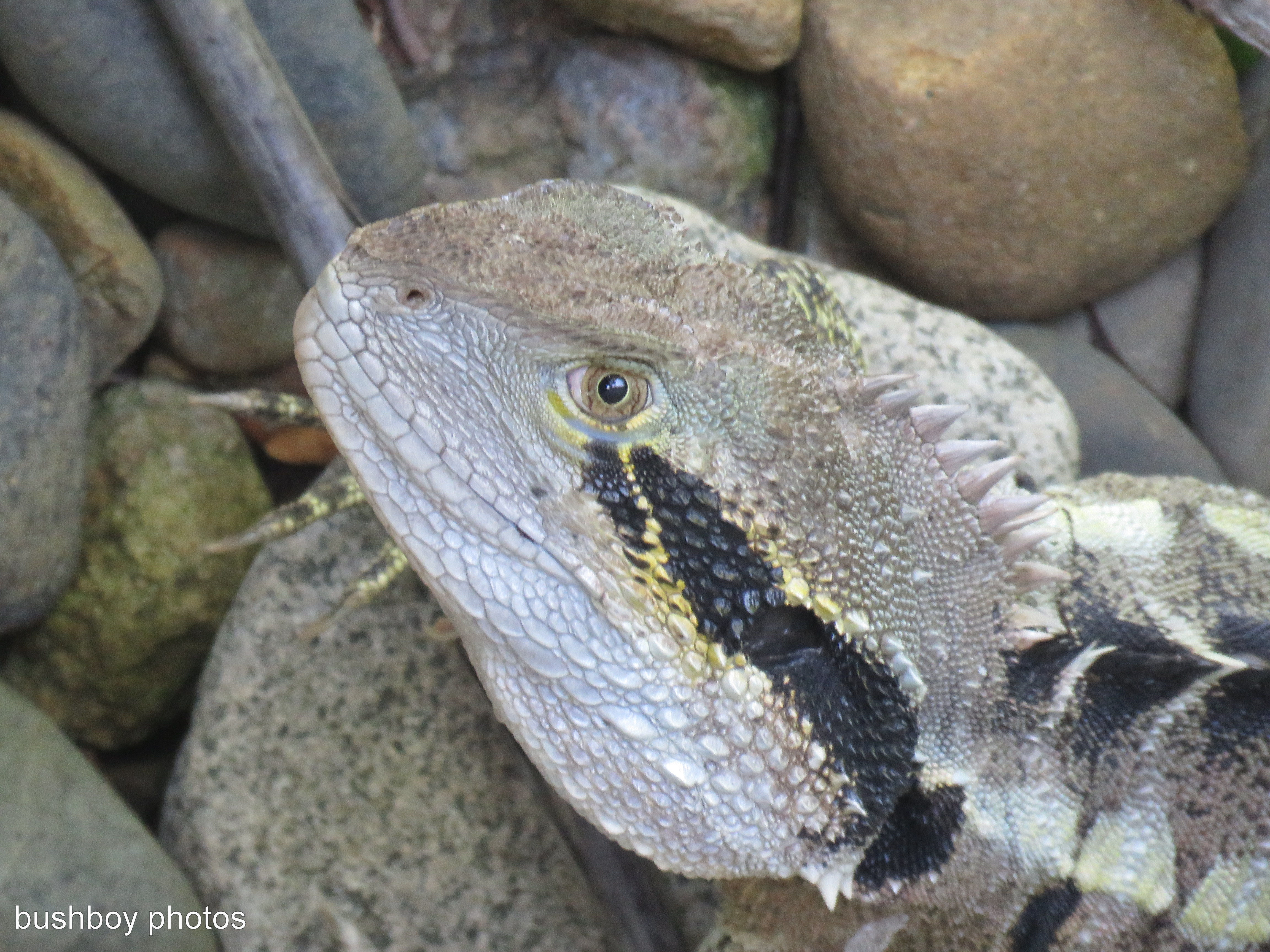 water-dragon_head_named_ballina_feb-2017