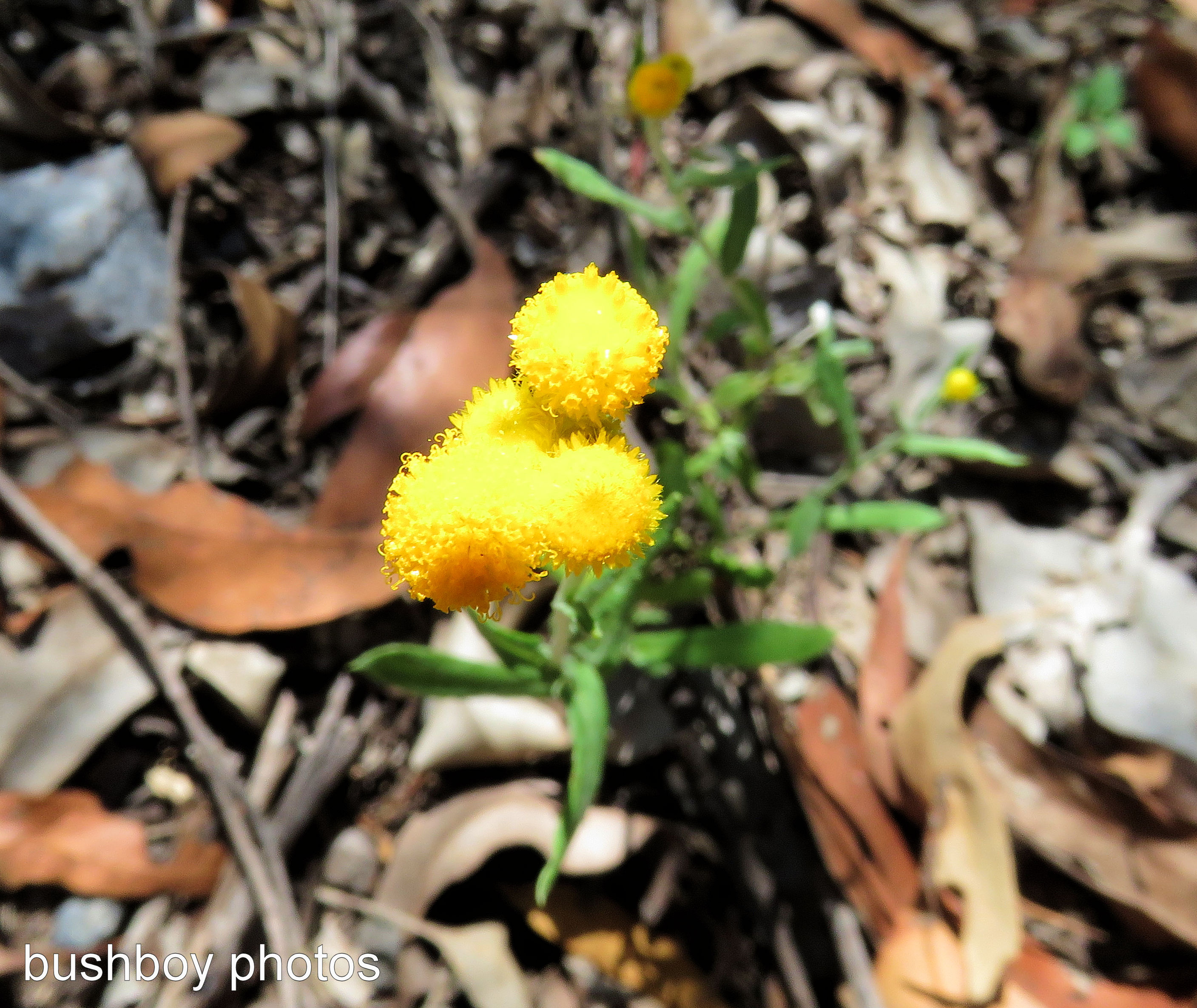 yellow-puff-balls_named_home_feb-2017