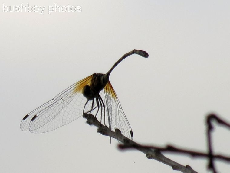 170315_dragonfly blog_orange wing on stick
