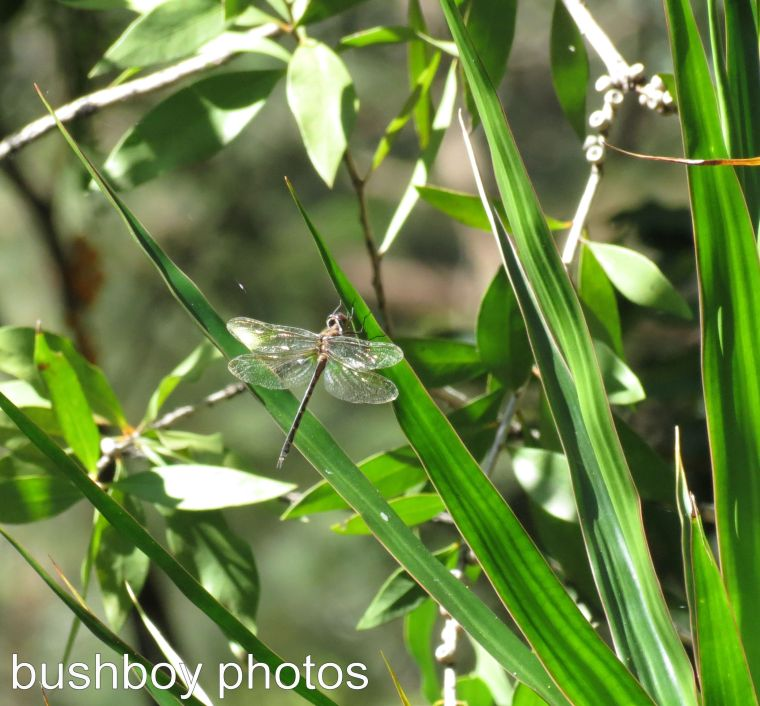 170315_dragonfly blog_slender on plant