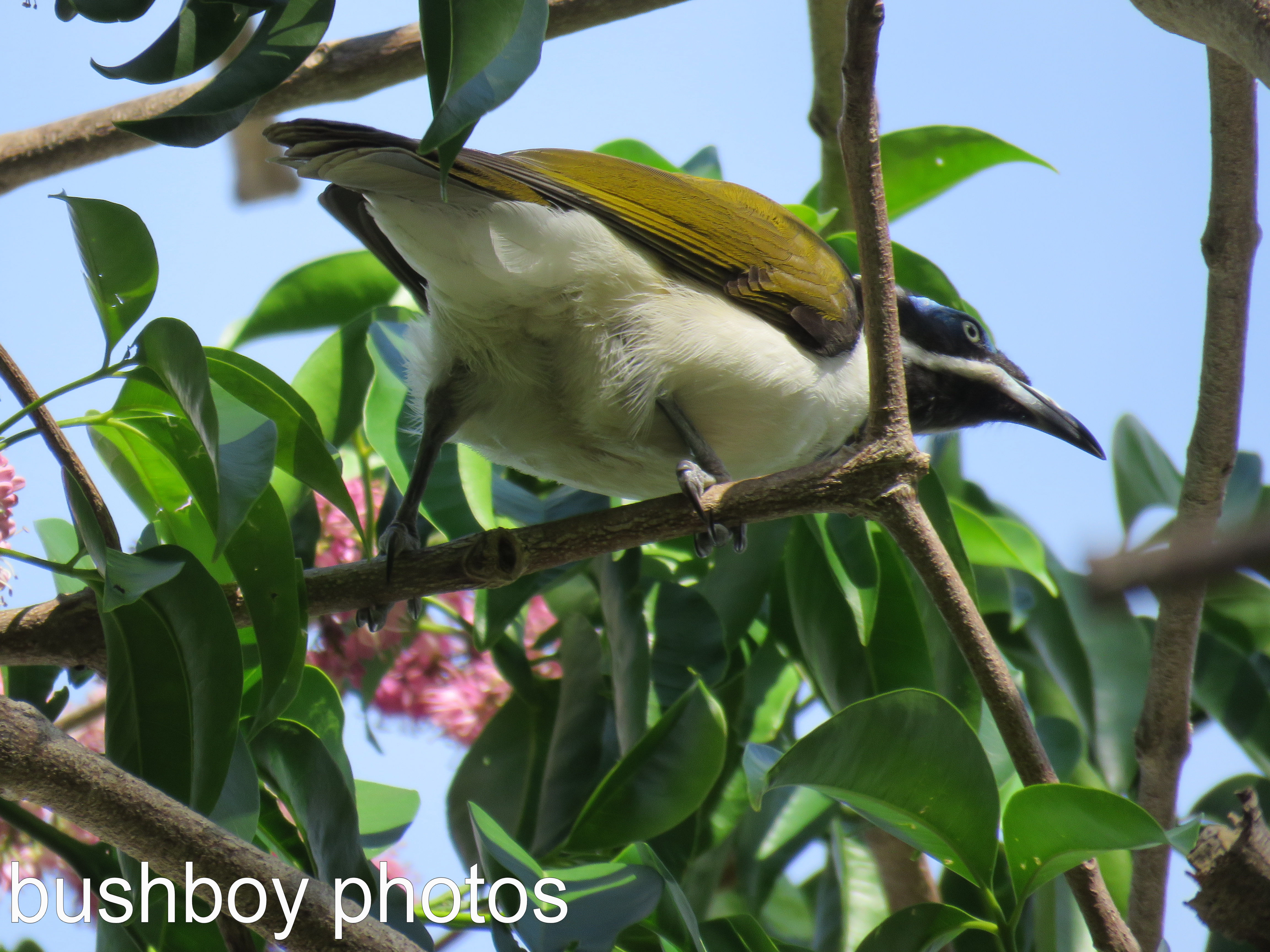 blue faced honeyeater_named_home_march 2017