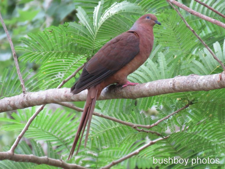 brown pigeon_named_binna burra_march 2017