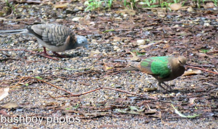 emerald dove_peaceful dove_named_binna burra_march 2017
