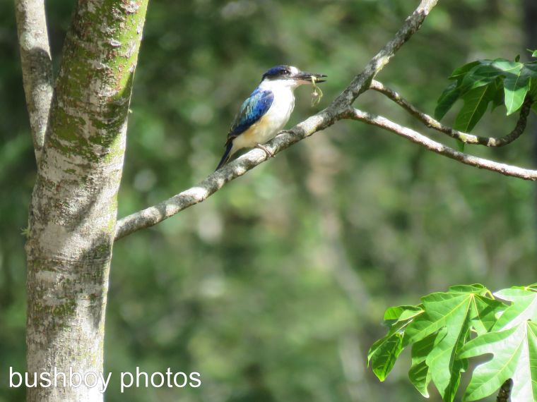 forest kingfisher_frog_named_home_march 2017