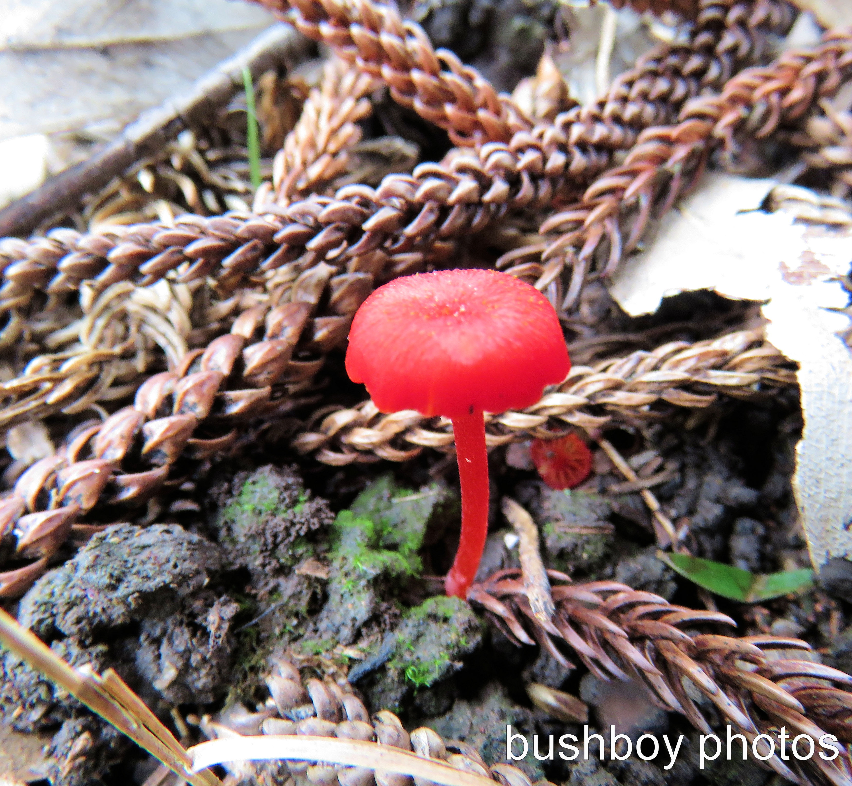 fungi small red_named_home_march 2017