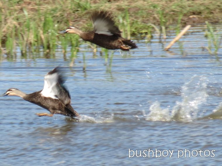 pacific black duck_flying_small_named_lawrence_sept 2014
