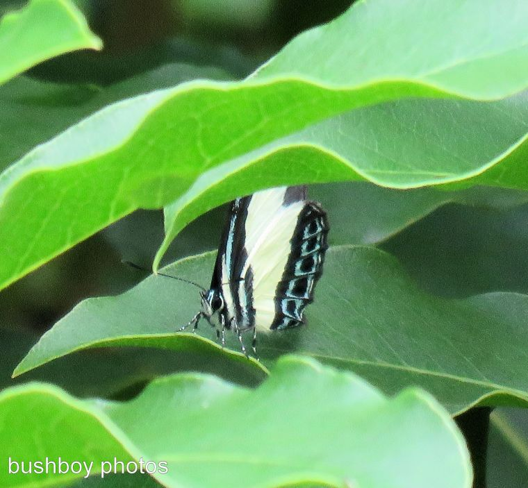 small green banded blue butterfly_named_home_march 2017