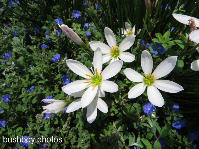 white crocus_named_emerald beach_march 2017