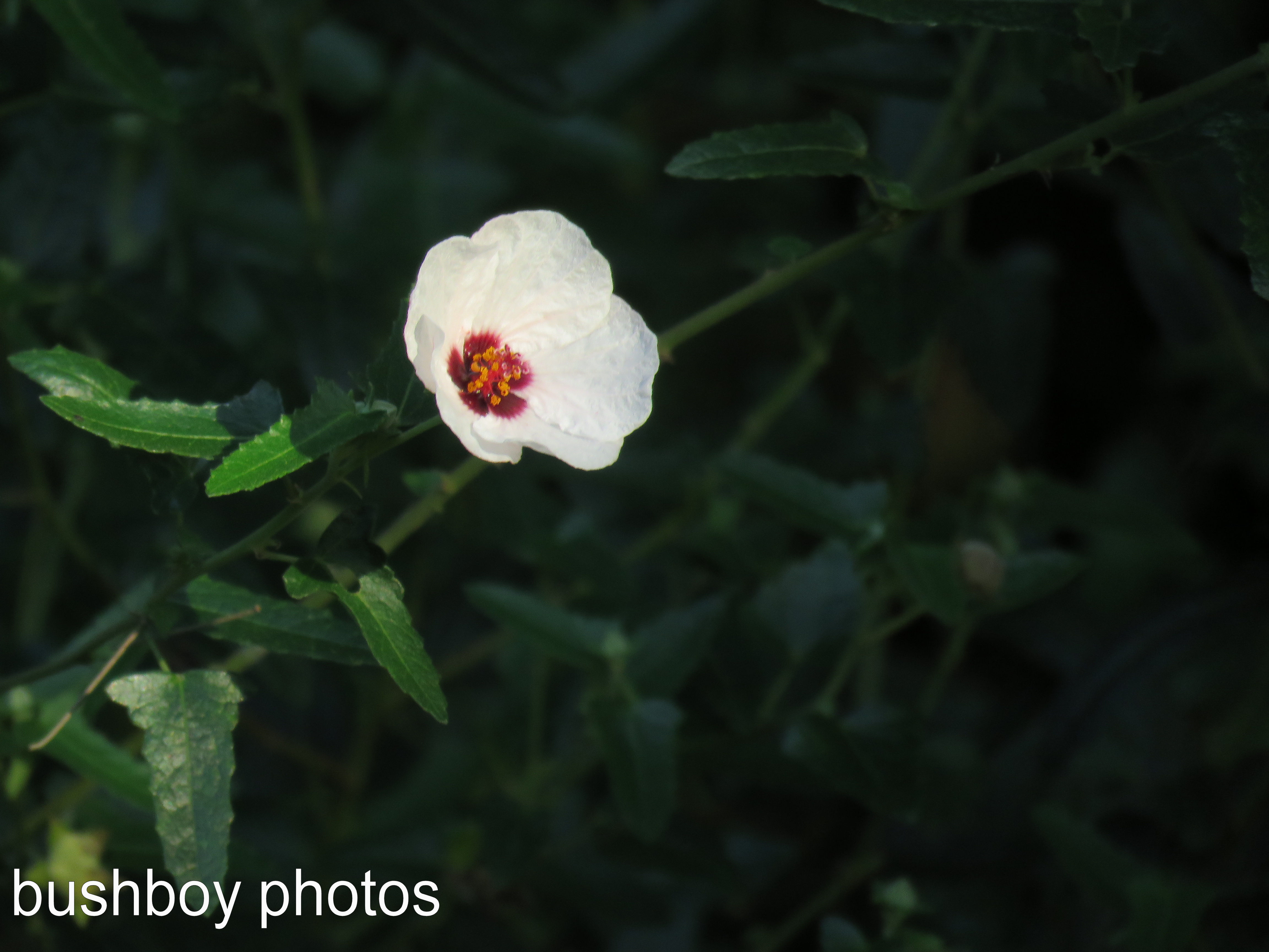 white flower_named_binna burra_march 2017