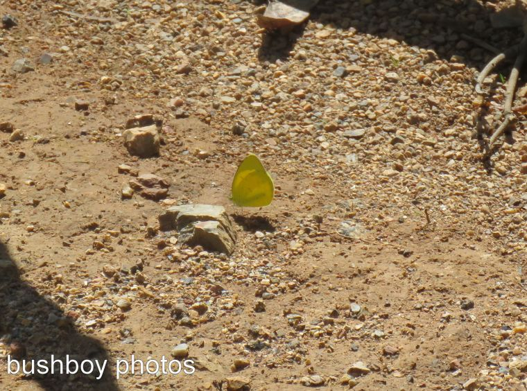yellow meadow butterfly_named_home_march 2017