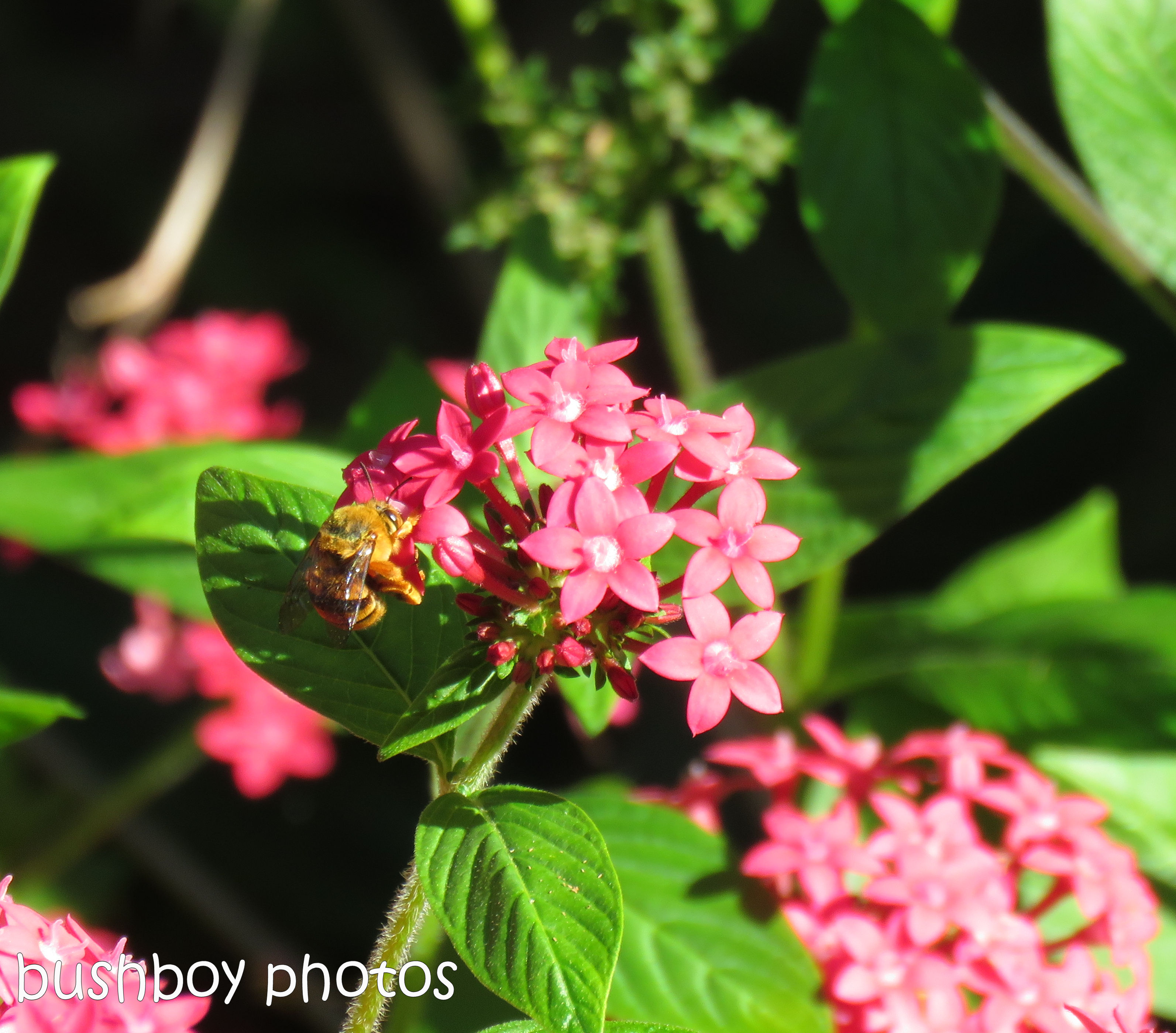 bee_pentas_named_home_april 2017