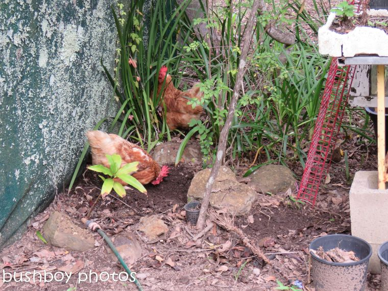 chooks_named_home_april 2017