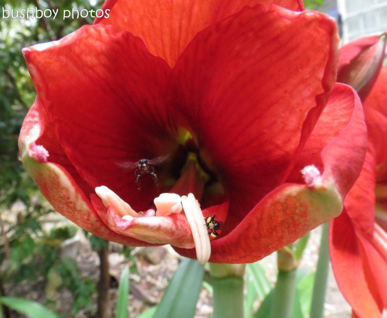 hippiastrum_native bees_sdof05