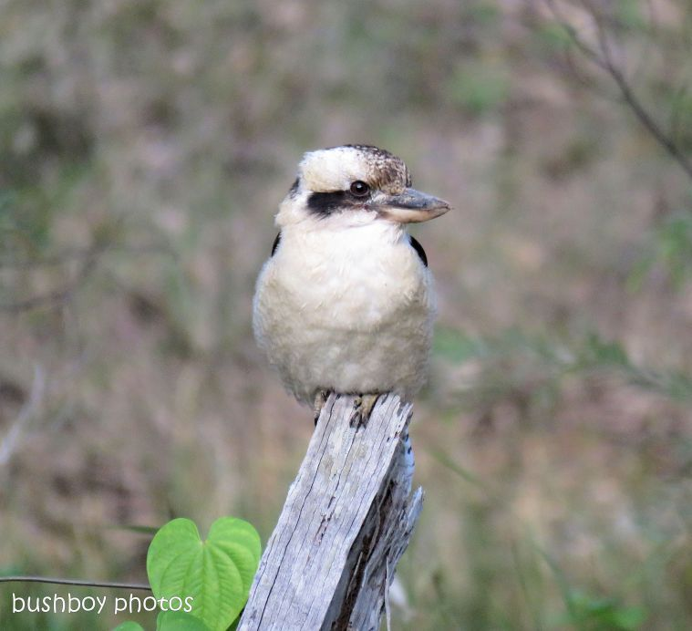 kookaburra_post_named_home_april 2017