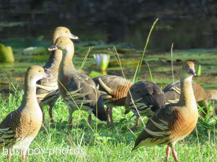 plumed whistling ducks_named_waterview heights_april 2017