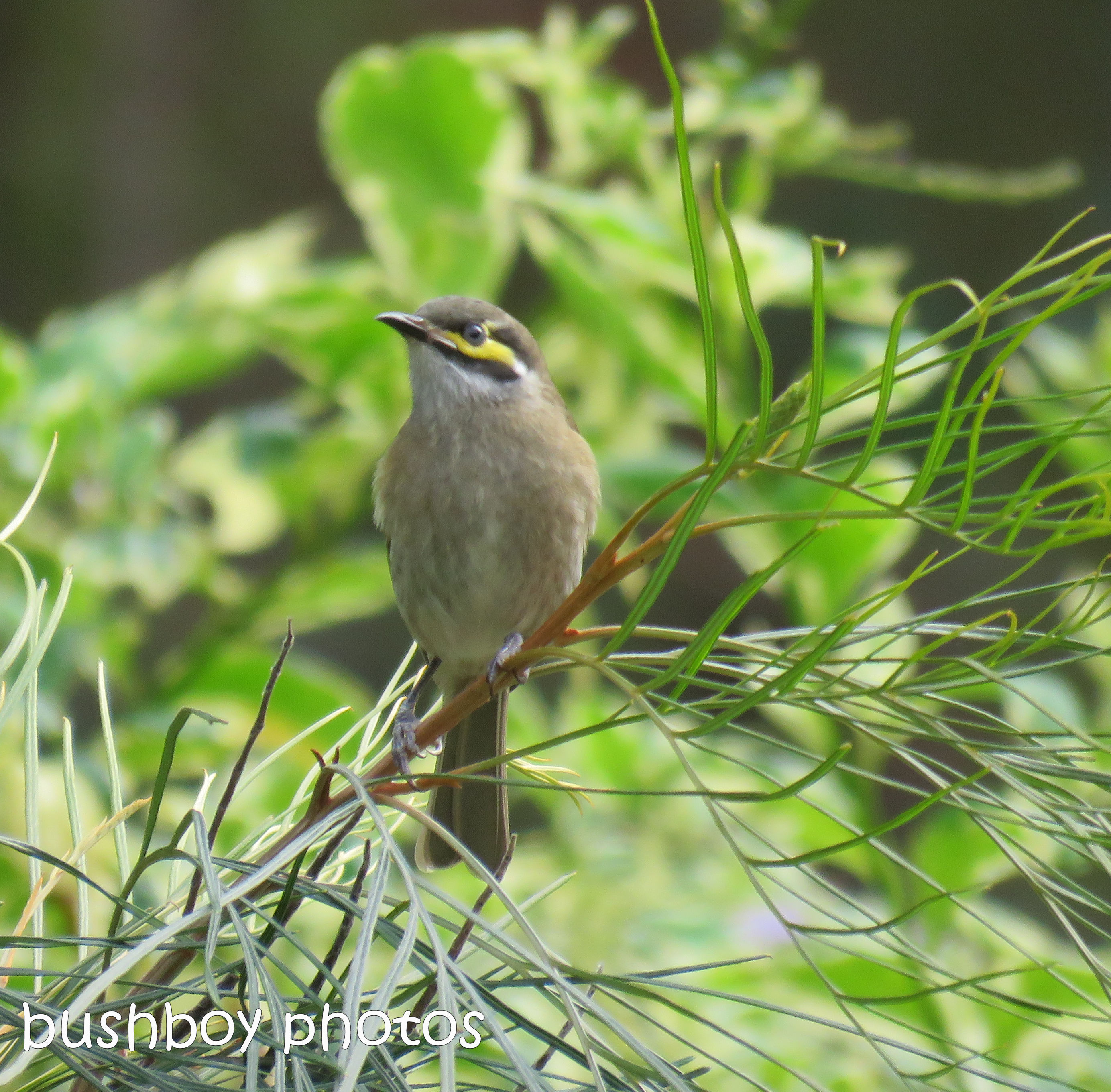 yellow faced honeyeater_named_home_april 2017