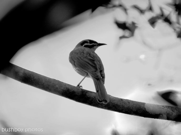 170601_bandw letters_y_yellow faced honeyeater
