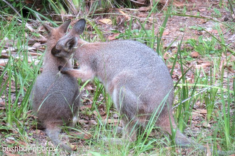 170609_blog challenge_tender_wallabies02
