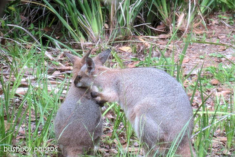170609_blog challenge_tender_wallabies03