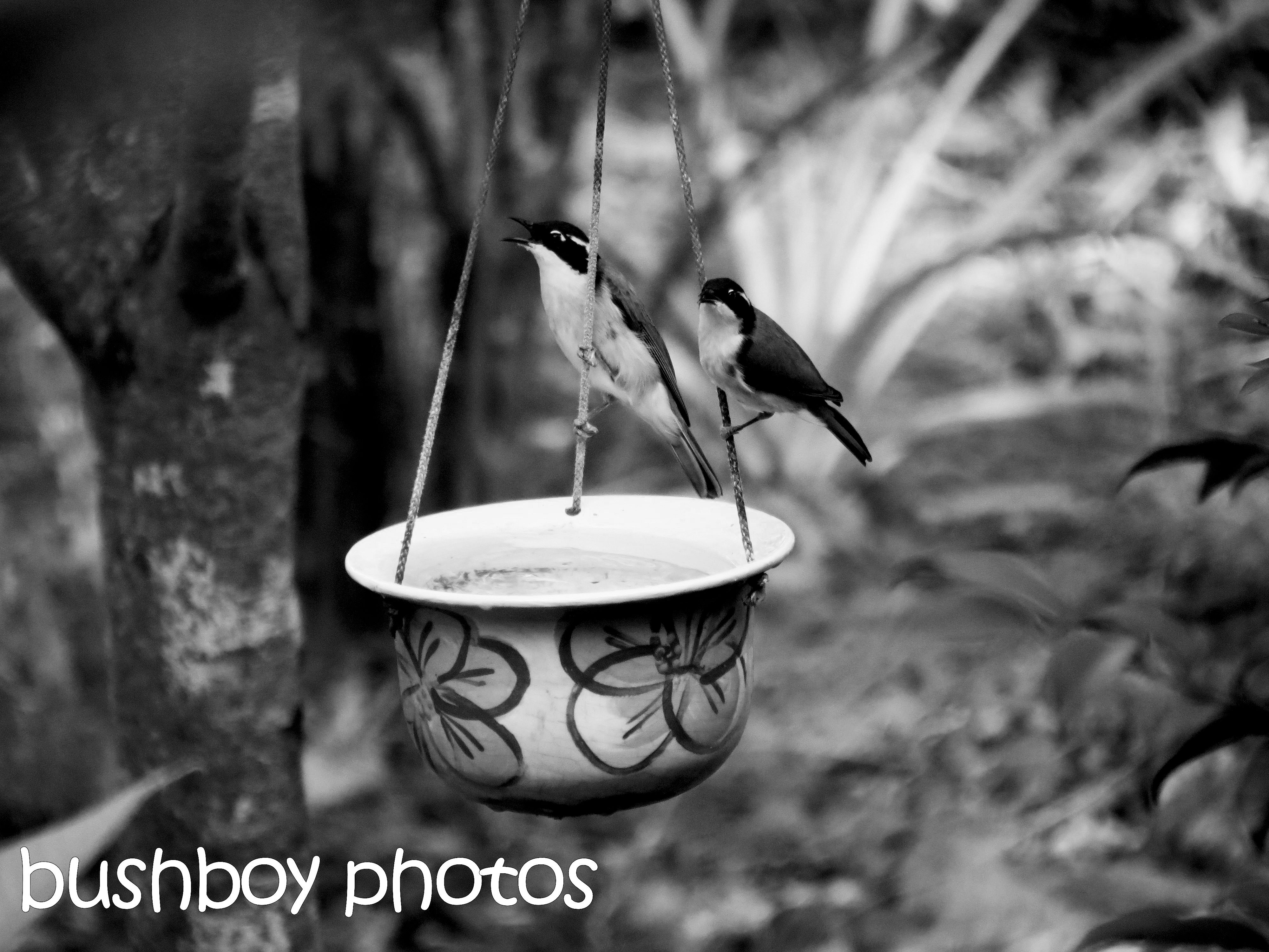 170623_bandw challenge_two of anything_honeyeaters