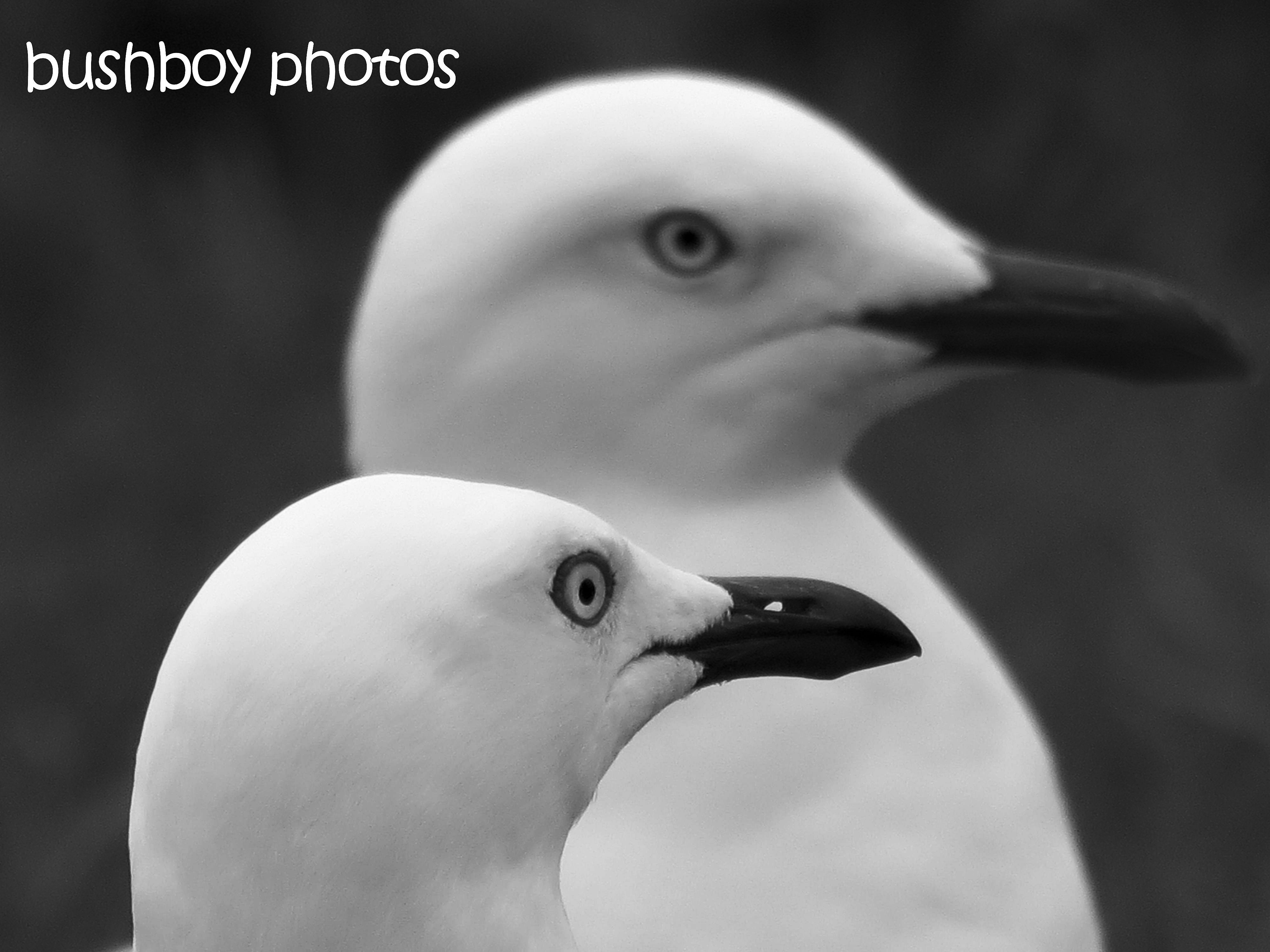 170623_bandw challenge_two of anything_seagulls