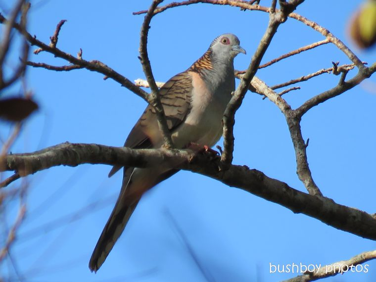 bar shouldered dove_named_binna burra_june 2017