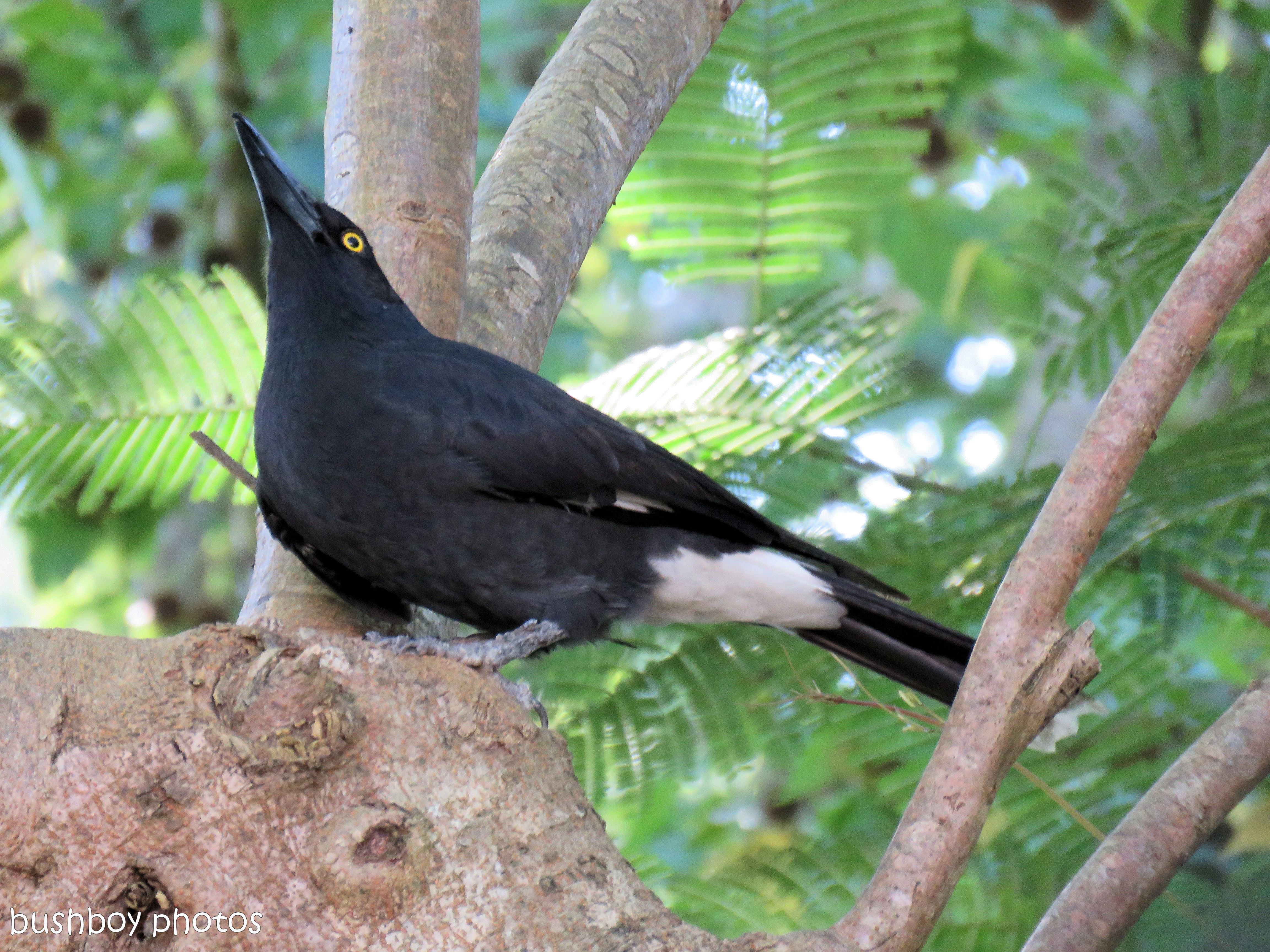 currawong_named_binna burra_may 2017