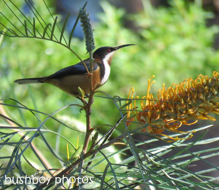 eastern spinebill_honey gem_named_home_june 2017